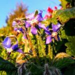 Fiore di Borragine | Agriturismo Il Castagneto - Castiglione Chiavarese | Liguria |